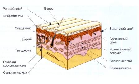 Структура кожи.